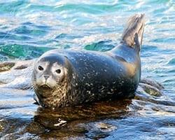 Harbor seal. Public domain.