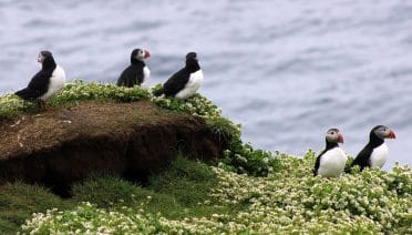 Puffin Soundscapes