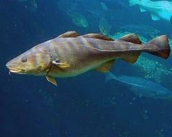 Cod fish. Photo by Hans-Petter Fjeld.