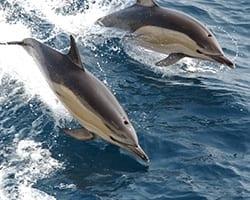 Common dolphin. NOAA.