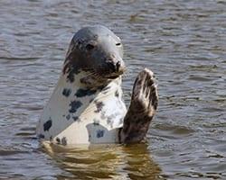 Gray Seal. Public domain.