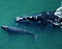 North Atlantic Right Whale. Photo courtesy of WHOI Archives.