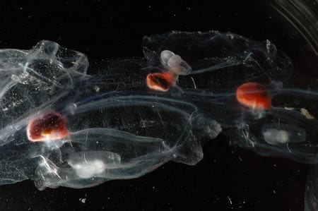 chain of aggregate salps
