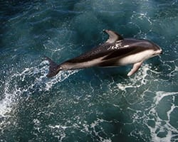 Atlantic white-sided dolphin. Photo by  Lance Wills, WHOI.