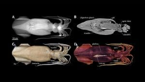 New Techniques Open Window into Anatomy of Mollusks