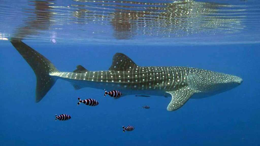 A whale shark in the Red Sea. (Photo by Simon Thorrold, Woods Hole Oceanographic Institution)