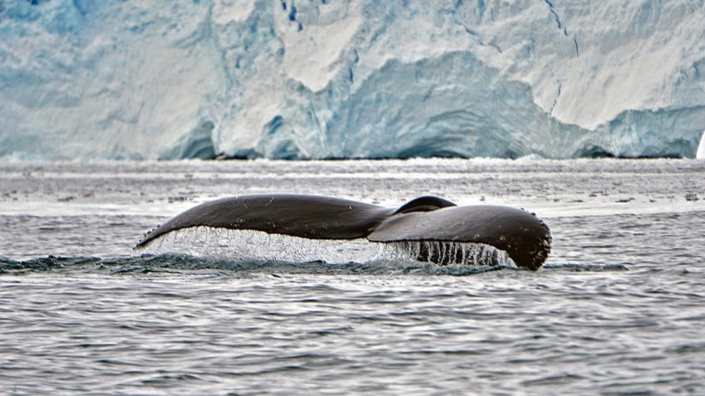 A humpback whale shows it's tail, or fluke, off shore from the Unites States Antarctic Program's Palmer Station (Photo by Tyler Rohr, Woods Hole Oceanographic Institution)