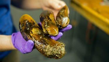 Buff Mussels