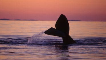 New Report Explores Threats, Solutions Impacting Right Whales