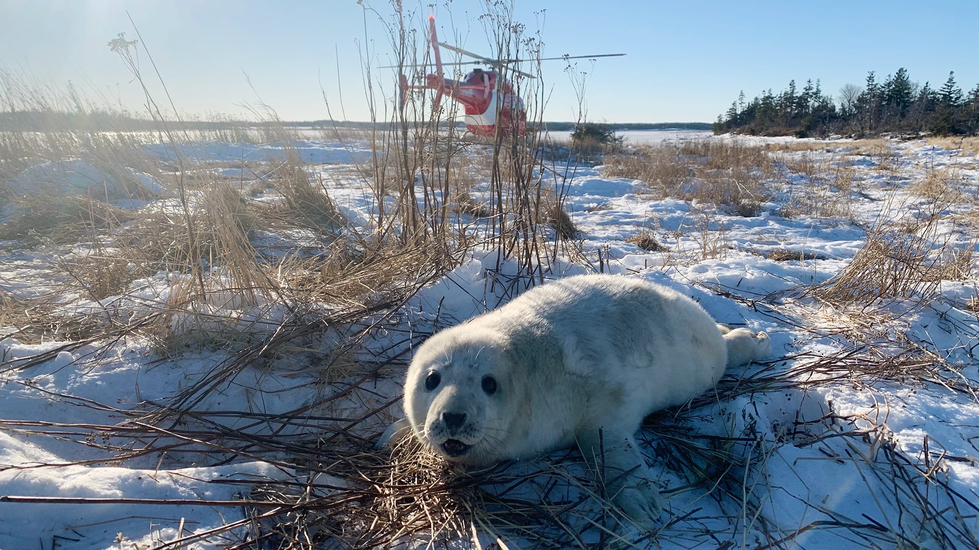 Marine ecologist at Woods Hole Oceanographic Institution is exploring new, non-invasive approaches to measuring the body mass of gray seals. Photo by Michelle Shero