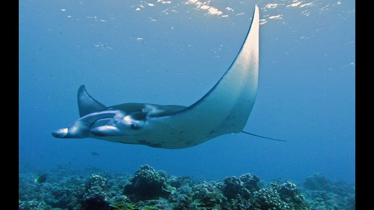 Reef Ray