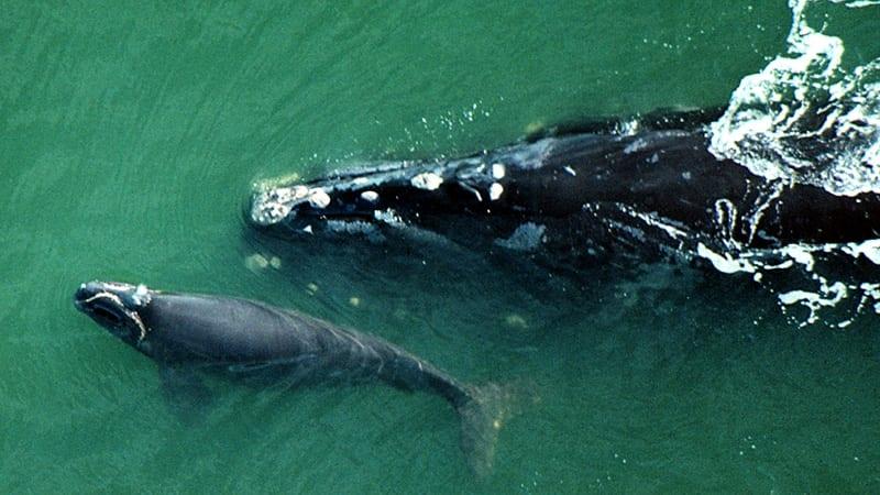 bbc-right-whale