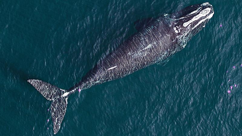 bbc-whale