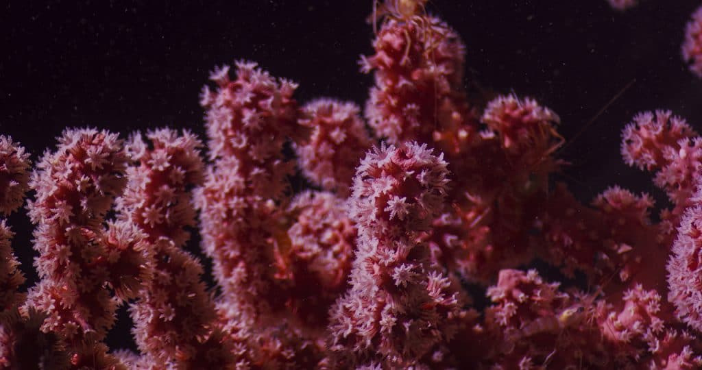 New species of coral found in Lydonia Canyon
