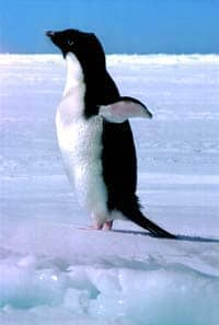 exp_buesseler_blue_penguin