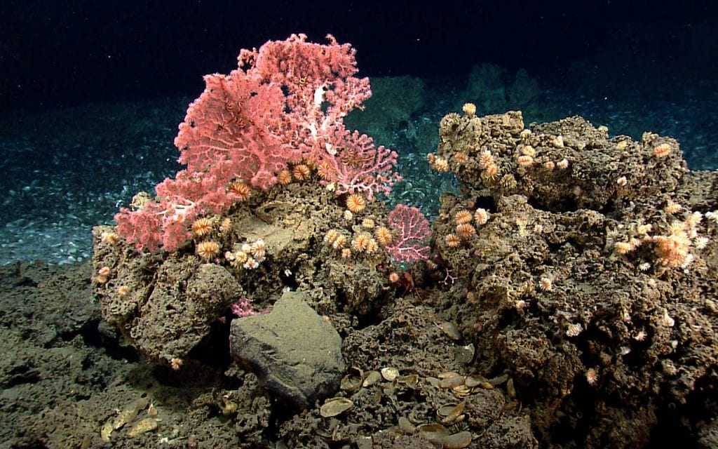 These corals, including cup corals and bubblegum corals, were found near the edge of a mussel bed while exploring a gas seep area near the northeast submarine canyons—unique and biodiverse habitats in the Atlantic Ocean. Less than one percent of the underwater canyons off the U.S. east coast have been explored. Image courtesy of the NOAA Office of Ocean Exploration and Research, Northeast U.S. Canyons Expedition 2013.