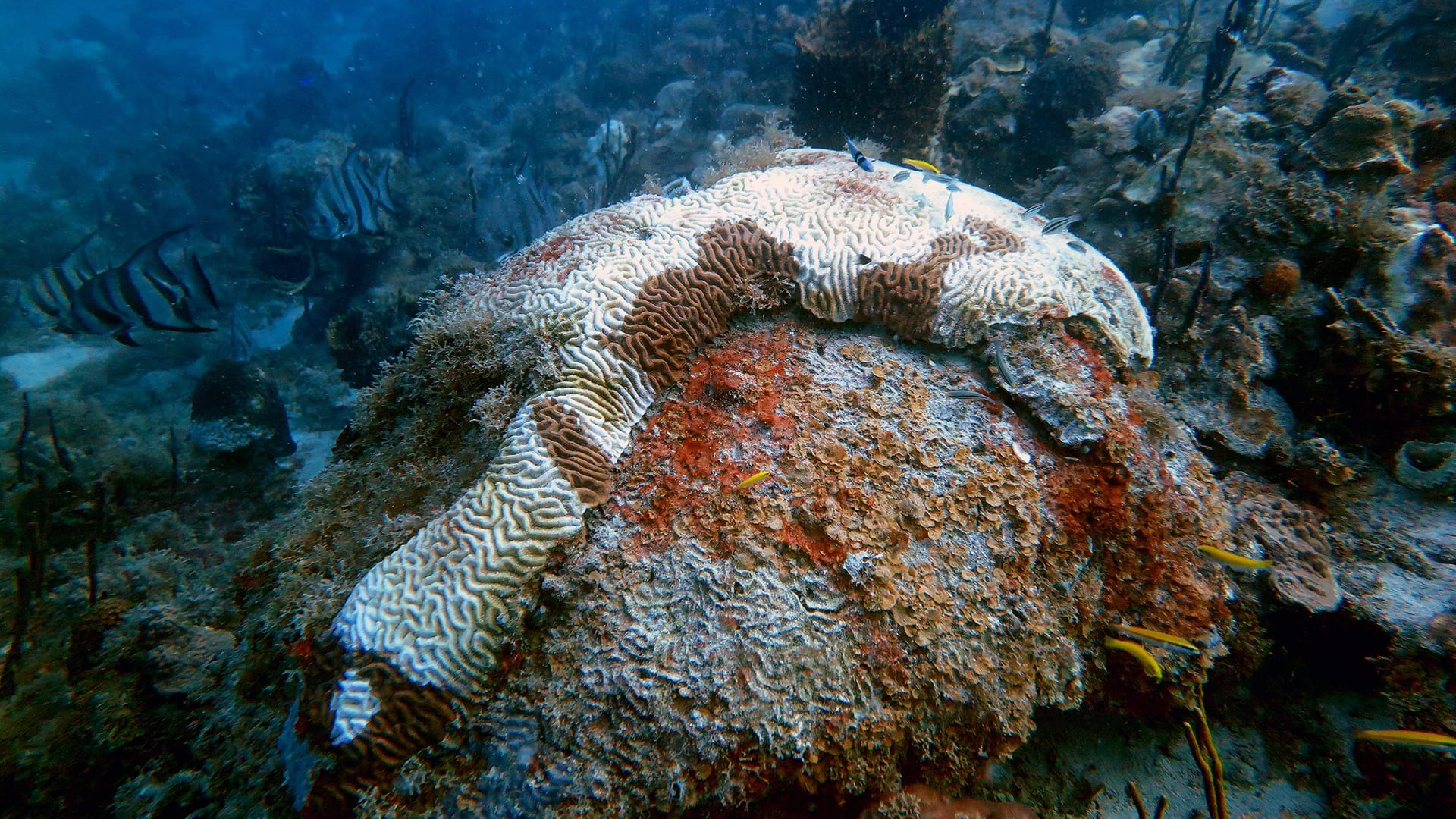 Brain corals in the U.S. Virgin Islands, like the one shown here, are exhibiting the same types of large, stark-white lesions as diseased corals in Florida. Photo by Marilyn Brandt, University of the Virgin Islands