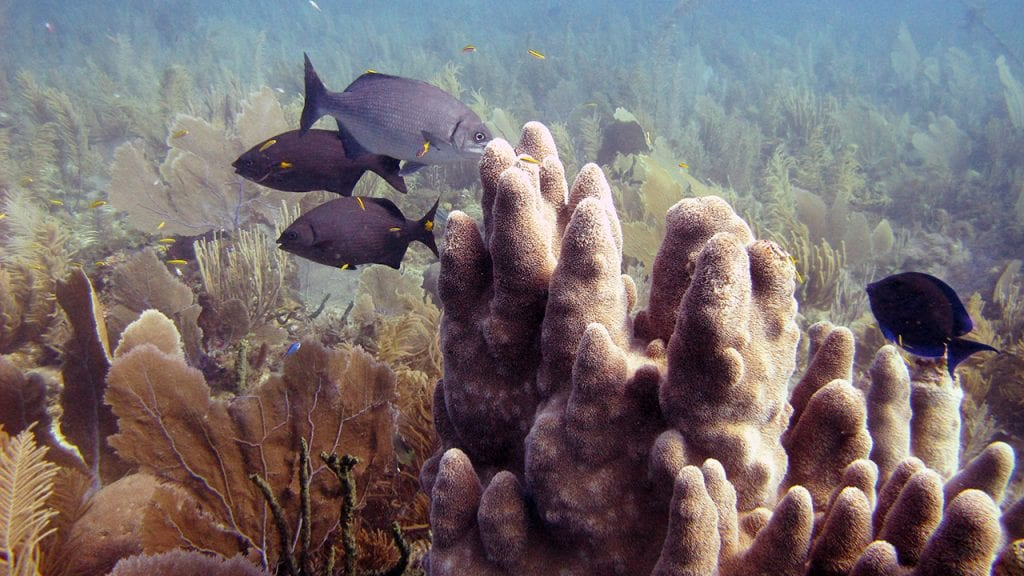 Reef fish hover over a pillar coral colony