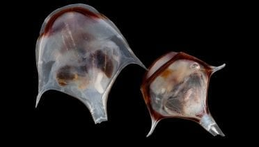 WHOI-Pteropod-Diacria-trispinosa