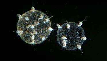 WHOI-Radiolarians