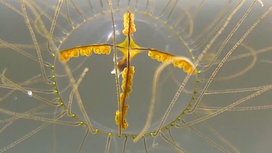 clinging Jellyfish