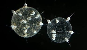 They look like space stations, but actually are colonial forms of single-celled organisms called radiolarians, collected in the deep Celebes Sea in the Philippines. The white blobs are individual cells, and the geodesic dome-like structure is the architectural structure of the colony. Radiolarians make such structures out of glass-like slivers of silica. (Photo by Larry Madin, Woods Hole Oceanographic Institution)