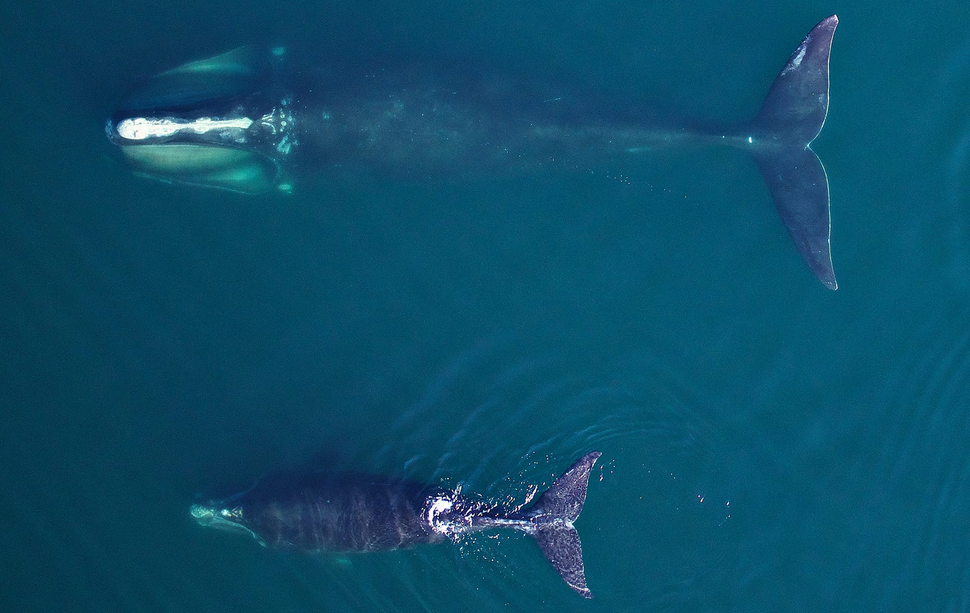 An adult female North Atlantic right whale feeds in Cape Cod Bay in early April 2019, accompanied by a young calf. Image obtained non-invasively from an unmanned drone flying >100ft above the whale, authorized by Research Permit #21371 issued by the National Marine Fisheries Service. Images acquired using an APH22 hexacopter, Aerial Imaging Solutions: Pilot Jacob Barbaro & CoPilot Brandon Tao, NOAA NMFS Southwest Fisheries Science Center, PI Michael Moore, WHOI.