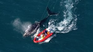 A disentanglement team attempts to free a right whale from fishing gear. EcoHealth Alliance, NOAA Permit #932-1905.