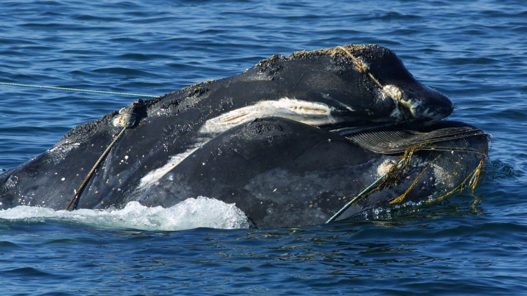 Entangled right whales. EcoHealth Alliance, NOAA Fisheries Permit #594-1759