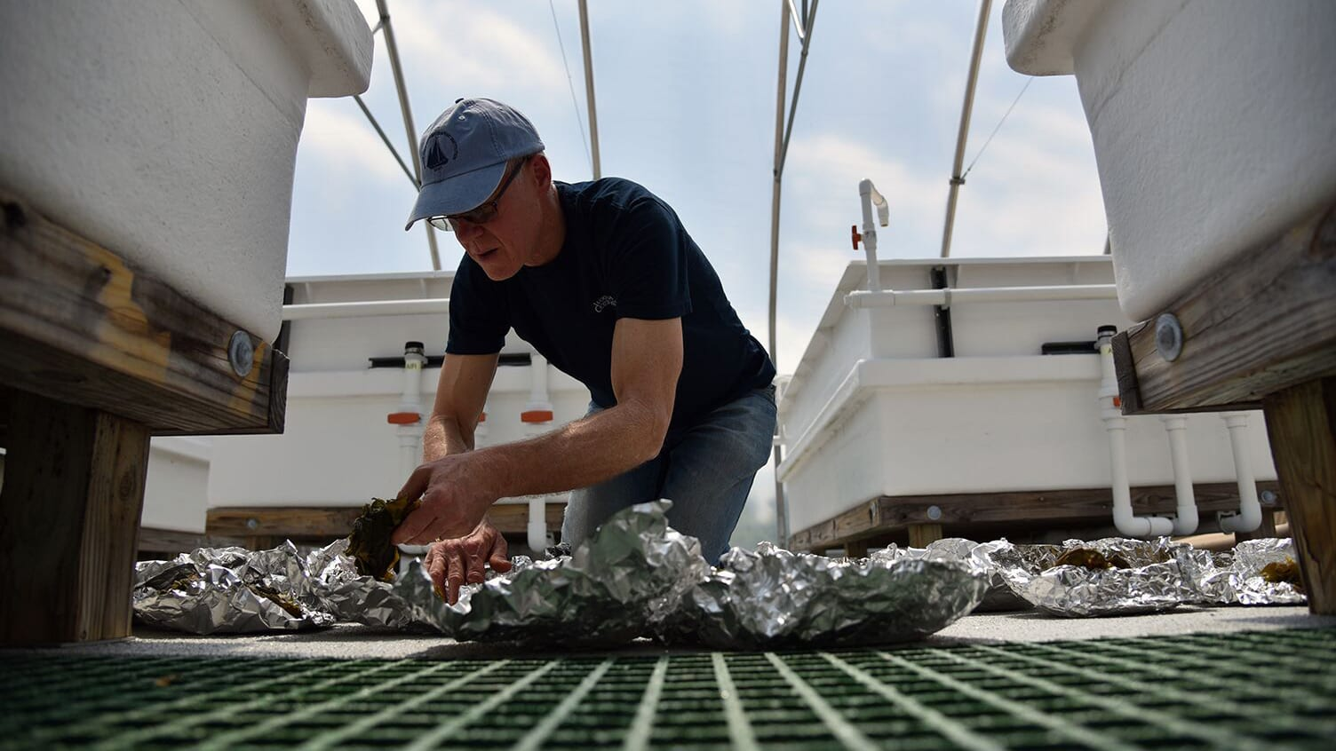 WHOI scientist Scott Lindell drying kelp that was recently harvested from a research farm in New England. (Photo by Veronique LaCapra, Woods Hole Oceanographic Institution)