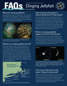 Clinging Jellyfish FAQs