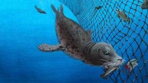 grey seal in gillnet