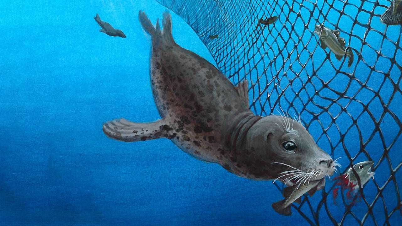 grey seal in gillnet