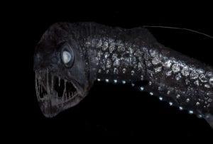 Sloan's viperfish (Chauliodus sloani)