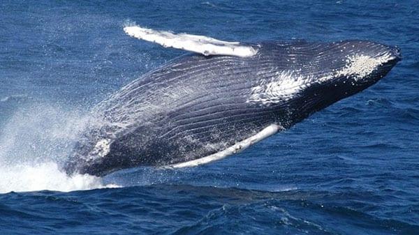 noaa-humpback600