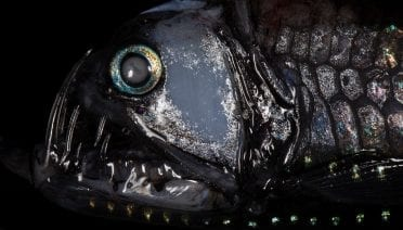 Bred in darkness, raised to kill, this is the fearsome viperfish -  <em>Chauliodus sloani</em>. (Photo by Paul Caiger, Woods Hole Oceanographic Institution)