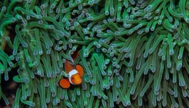 Clownfish on their anemone in the lagoon around Kimbe Island in Papua New Guinea. (Photo by Simon Thorrold, Woods Hole Oceanographic Institution)