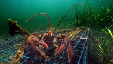 Warm ocean temperatures caused large-scale ecological disruption that affected different species, including lobster. (© AP Photo / Robert F. Bukaty as seen in Oceanus magazine Vol. 54, No. 2)