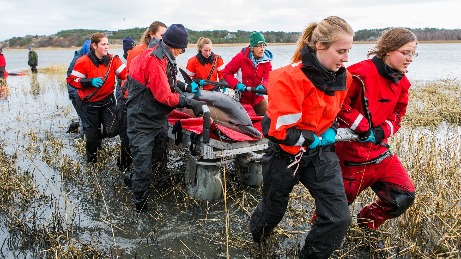 IFAW's Marine Mammal Rescue Team and volunteers respond to a  stranding of four common dolphins on Scussett Beach, Cape Cod in 2018- their 5000th response since the beginning of the Cape Cod Stranding Network. (Photo courtesy of © IFAW)