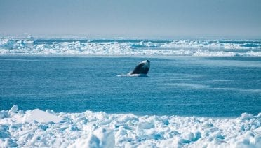 A bowhead whale breaches the surface of the cold waters near Point Barrow, Alaska. (Photo by Kate Stafford, University of Washington)