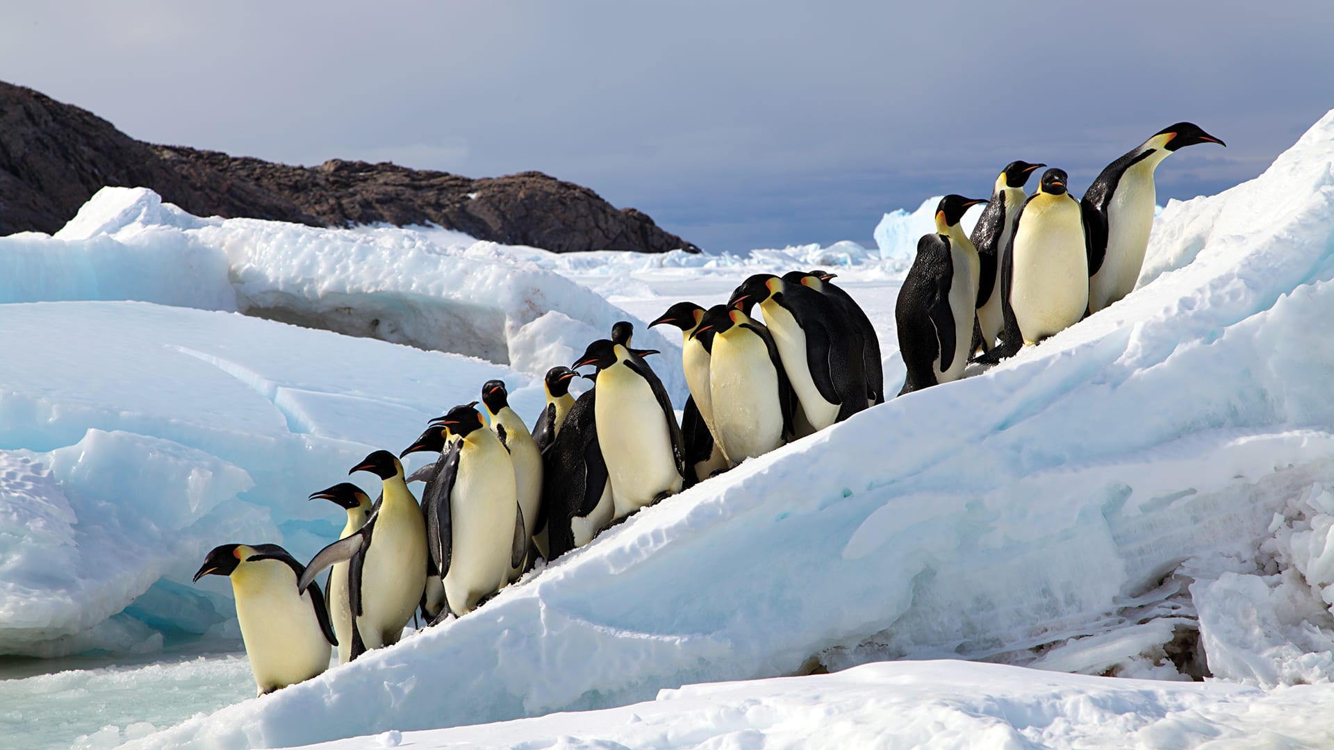 Emperor penguins amble to around the edges of a precarious ice sheet. (Photo by Stephanie Jenouvrier, ©Woods Hole Oceanographic Institution)