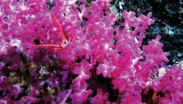 This purple gorgonian soft coral (Victogorgia) was discovered in 2017 during the first deep-water surveys of the central Pacific's Phoenix Islands Protected Area (a UNESCO World Heritage Site) in Kiribati. (Image acquired from the <em>ROV SuBastian</em>)