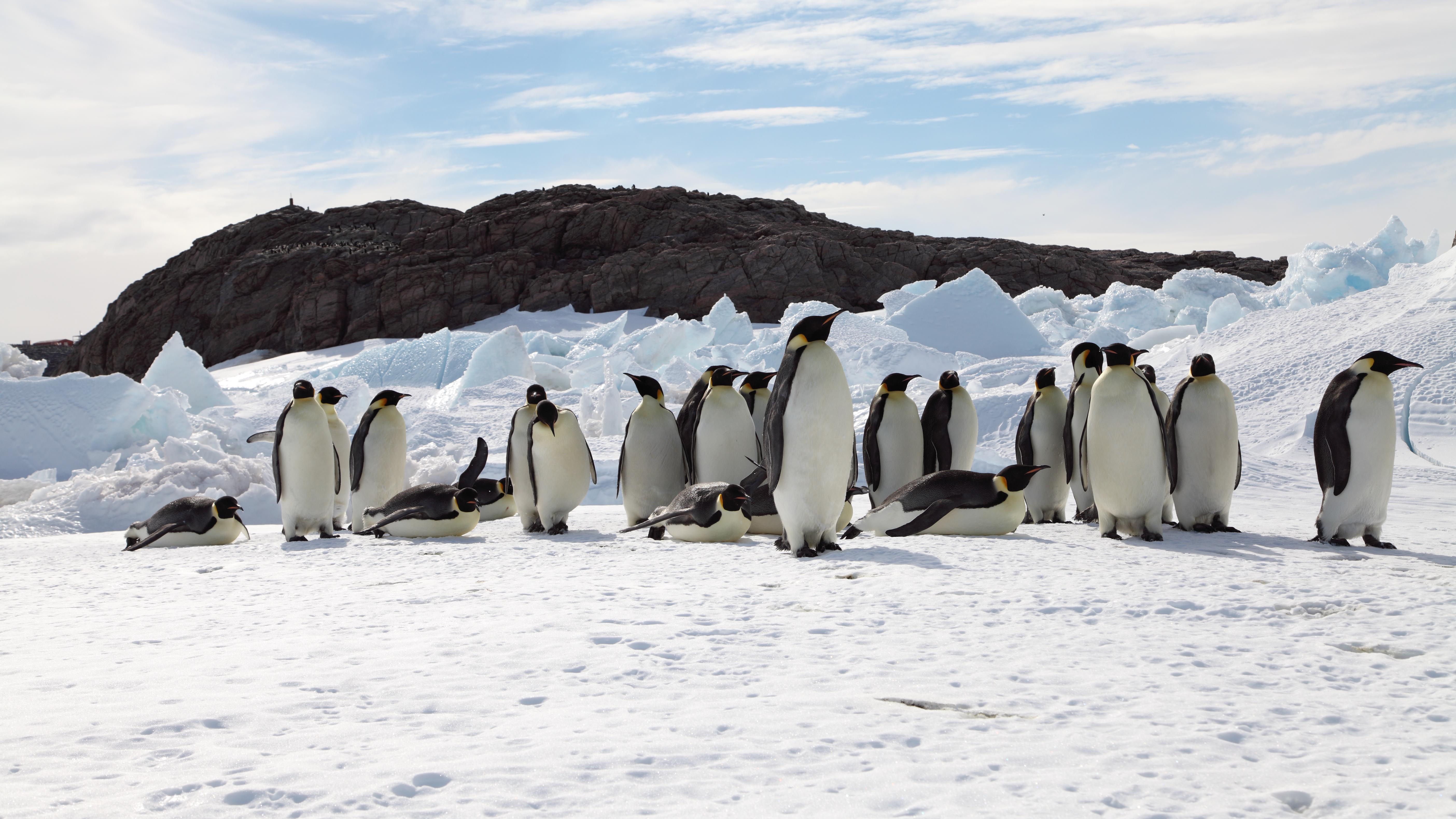The fate of emperor penguins is largely tied to sea ice, making them particularly vulnerable to warming. (Photo courtesy Stephanie Jenouvrier, Woods Hole Oceanographic Institution.)