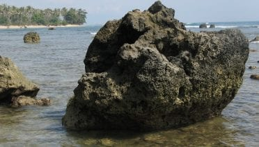 Fossil Porites coral (above) from the southern Mentawai Islands (Indonesia) in the eastern Indian Ocean were used to reconstruct Indian Ocean Dipole variability over previous centuries. (Photo by Nerilie Abram, Australian National University)
