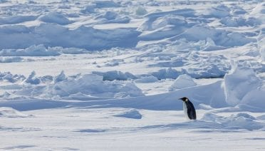 A lone emperor penguin meanders on the sea ice in Antarctica in 2012. (Photo by Peter Kimball, © Woods Hole Oceanographic Institution)