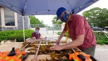 Scott Lindell wears a mask while carefully measuring blades of sugar kelp brought to tents outside of the Environmental Systems Lab. (Photo courtesy of Scott Lindell, © WHOI)