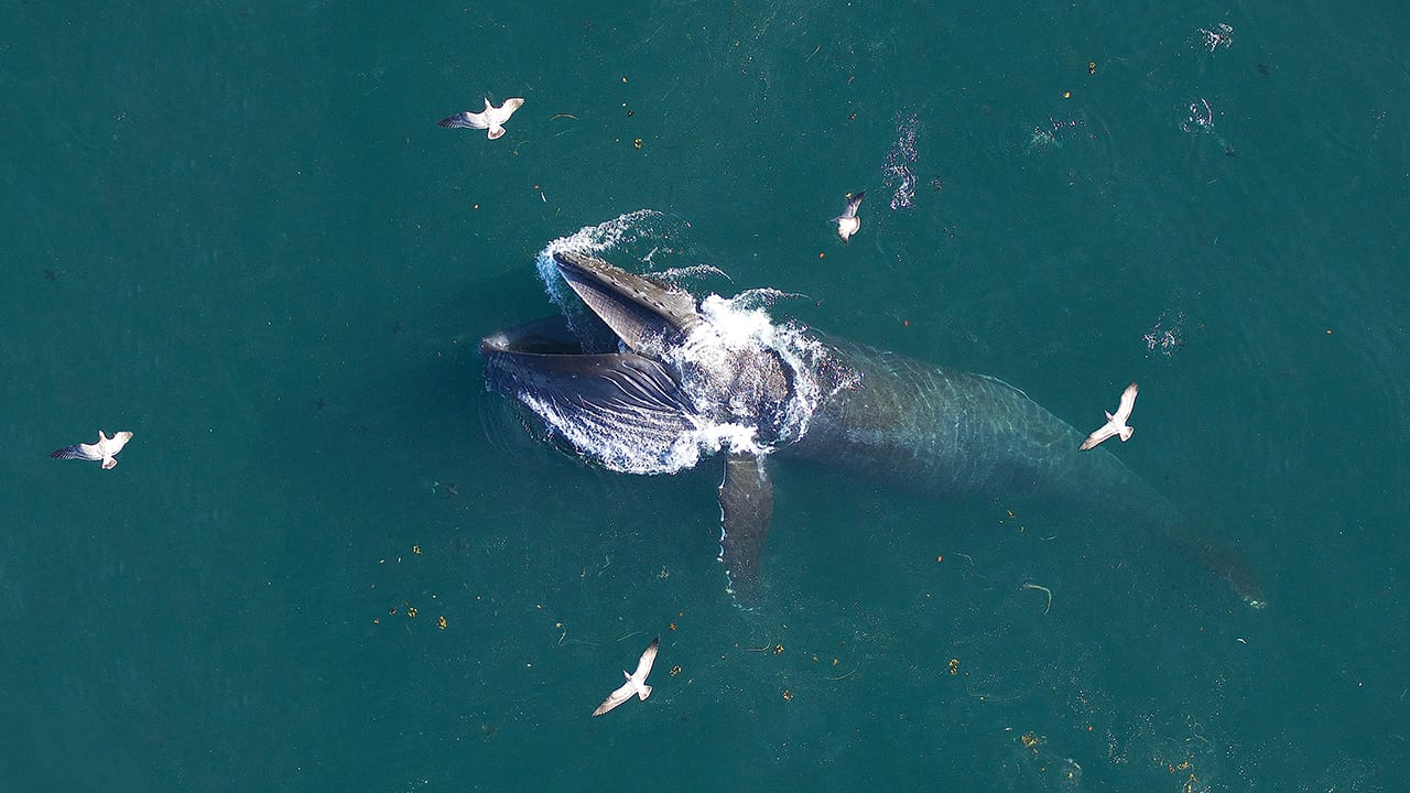 Work by NOAA, WHOI and many other partners have helped monitor and protect countless marine species, including humpback whales (shown here lunge-feeding) and critically endangered right whales in waters near some of the nation's busiest harbors to support ecosystem health, tourism, and industry. Photo by John Durban (NOAA), Holly Fearnbach (SR3) and Lance Barrett-Lennard (Coastal Ocean Research Institute) during research authorized by NMFS permit #17355 and flights authorized under an MOU between NOAA and the FAA (Class G MOU #2016-ESA-3-NOAA) ©Woods Hole Oceanographic Institution