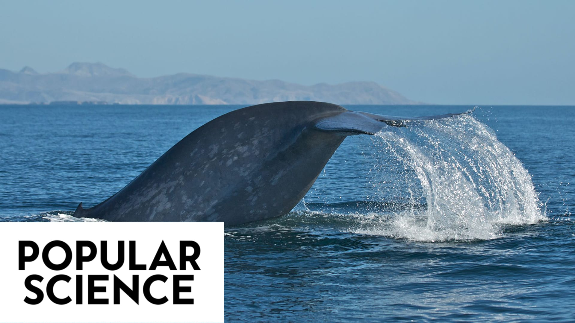 Ship strikes are a leading cause of death to whales around the globe. (Craig Hayslip, © Popular Science)