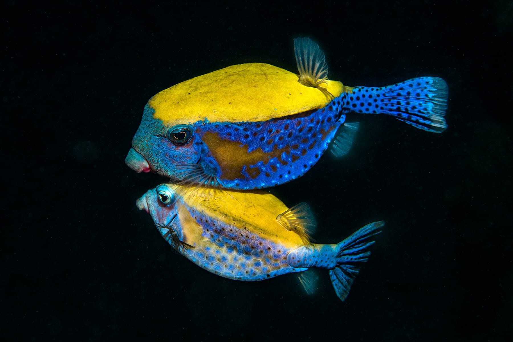 <p><b>Fishy Courtship</b><br /> A male (upper one) Bluetail trunkfish wooing the female (lower one) in the Gulf of Eilat and Aqaba, northern Red Sea.</p> <p> While snorkeling and freediving, waiting for corals to spawn, I lifted my flashlight towards the open sea that simply looks like black space at night. Suddenly, I noticed a couple of shadows moving rapidly in the distance. I turned my lights off so I can get closer to these shadows without scaring them away. The moon was shining bright that day so once I got closer, I could vaguely see that it's a couple of fish in the midst of their love dance: The male swimming fast towards the female, bumping into her, pushing and biting, but in the end, they stayed together. An aggressive dance of courtship and mating.  </p><p> I turn on a small light to try and follow these fish and take a photo and the fish are swimming further away from the reef and dragging me to the open sea. As if it was not challenging enough, I was with a macro lens that day and hardly managed to focus right on these fast-moving fish. I took a couple of photos, which turned out just terrible and out of focus, and the fish kept on swimming away. I decided to give it one more shot. I turned off the lights again and swam in the darkness towards the cute fish. This time, I set in advance all the camera and strobes settings, freedive to about 10 feet depth and just float in this black space next to the fish until I feel that the angle is good, the distance is right, that's the right moment, and… One shot turned out good. </p>