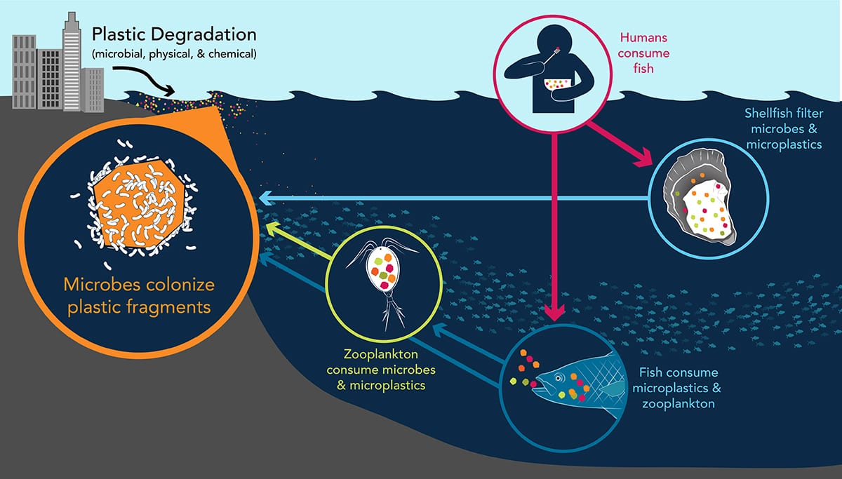 Plastics that get into the ocean often degrade into microplastics that are ingested by fish and shellfish and can go up the food chain to be ingested by humans. (Illustration by Natalie Renier, WHOI Creative © Woods Hole Oceanographic Institution)